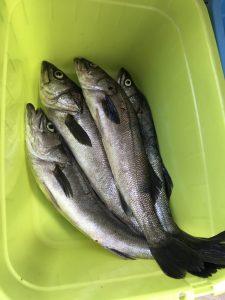 2017年09月08日にこうむらが釣った4匹で10㌔超えのスズキ一家